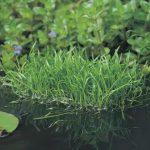 braziliaanse-grasplant-lilaeopsis-brasiliensis-zuurstofplant-1-0_300x300