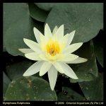 gele-waterlelie-nymphaea-sulphurea-waterlelie-1-0_300x300