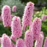adderwortel-polygonum-bistorta-moerasplant-1-0_300x300