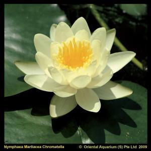 gele-waterlelie-nymphaea-marliacea-chromatella-waterlelie-1-0_300x300