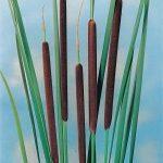 kleine-lisdodde-typha-angustifolia-moerasplant-1-0_300x300